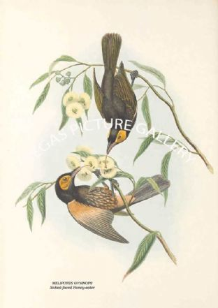 MELIPOTES GYMNOPS - Naked-faced Honey-eater